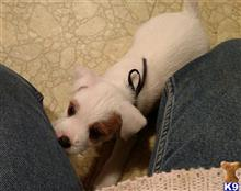 jack russell terrier puppy posted by Shady Grove